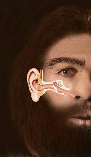 This illustration shows the structure of the Eustachian tube in a Neanderthal man and its similarity...