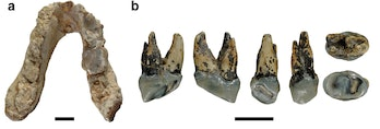a, Type mandible of G. freybergi from Pyrgos, Greece. b, RIM 438/387 –Left P4 of cf. Graecopithecus sp. from Azmaka, Bulgaria.