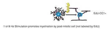 myelin meditation neuroscience