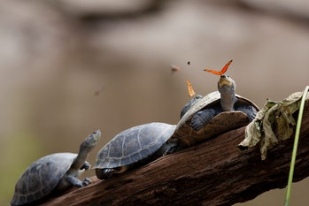 Arrau turtles Ecuador