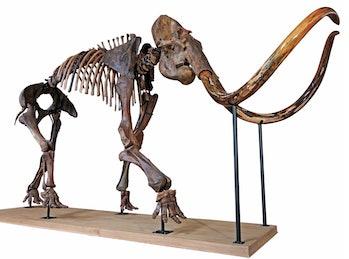mammoth skeleton