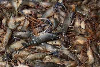 shrimps Bangladesh