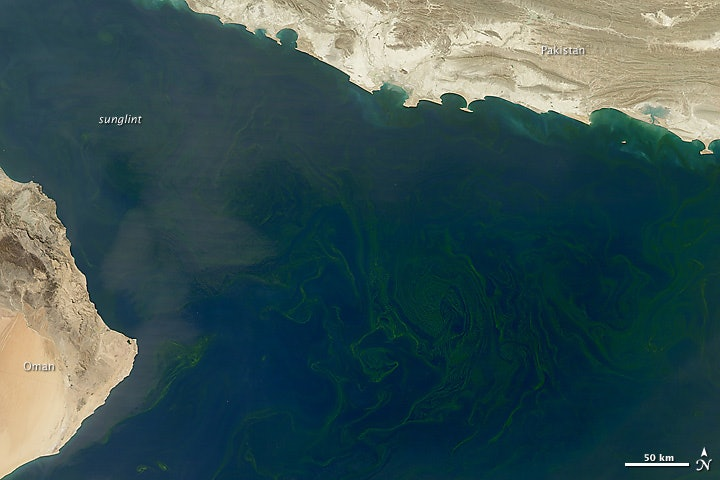 Phytoplankton arabian sea