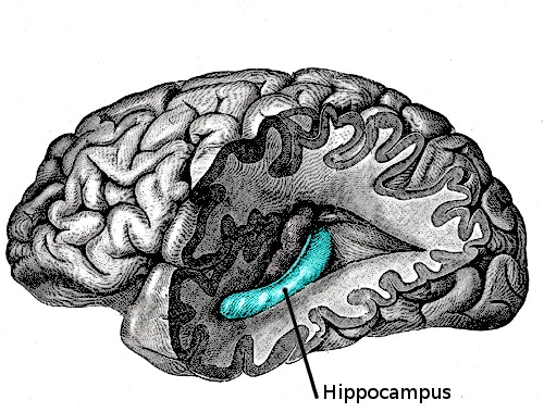 The hippocampus in the brain.