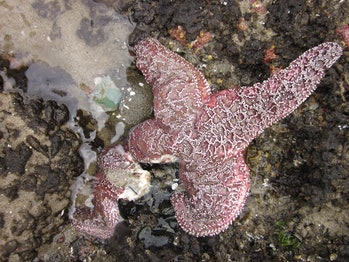 sea star wasting disease