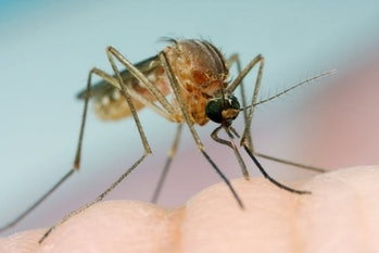 mosquitos buzzing