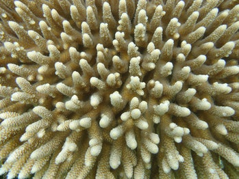 Acropora millepora, a sensitive and ecologically important coral.