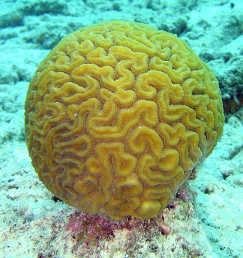 Brain coral Great Barrier Reef disappearing