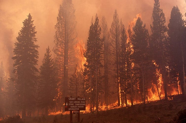 Crown fire at Grant Village in Yellowstone National Park, July 23, 1988.