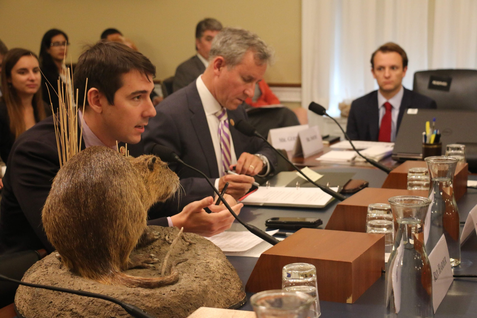 nutria on desk while man talks to Congress