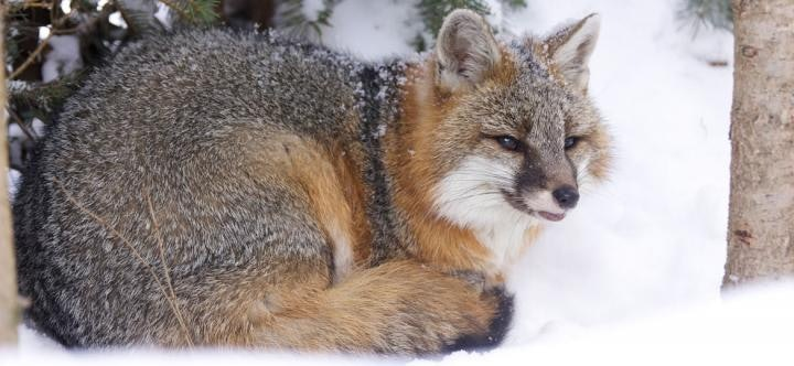 gray foxes