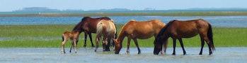 wild horses genetics