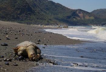 sea turtle taiwan