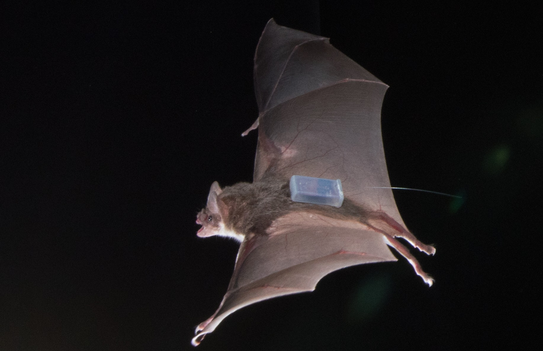 Researchers used high-resolution trackers to keep tabs on the bats' activity