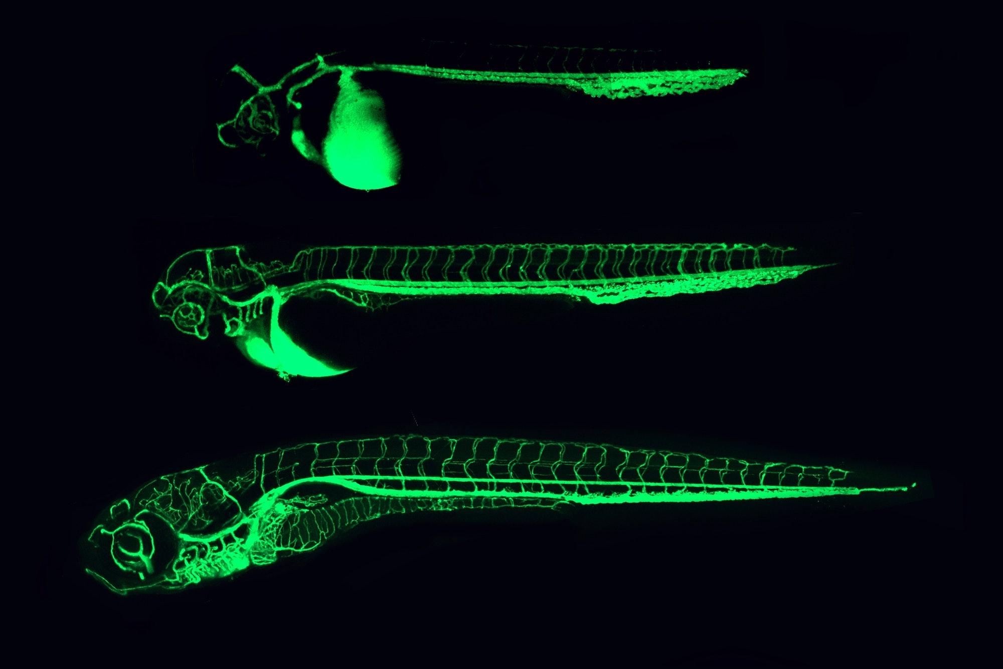Zebrafish blood vessels