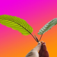 Kratom: A new report maps one possible future for the controversial drug