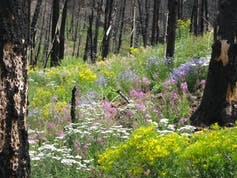 Wildflowers flourish three years after the 2008 Gunbarrel fire east of Yellowstone.