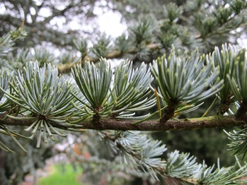 Cedrus atlantica, New York Botanical Garden