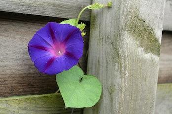 Ipomoea purpurea, the purple, tall, or common morning glory