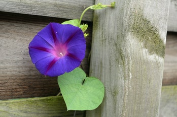 Ipomoea purpurea, the purple, tall, or common morning glory