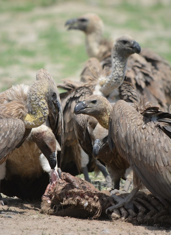 Lead ammunition is banned for certain types of bird hunting in the U.S., and the researchers hope that this study will help vulture conservation efforts.