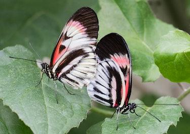 Helonicus butterflies mating