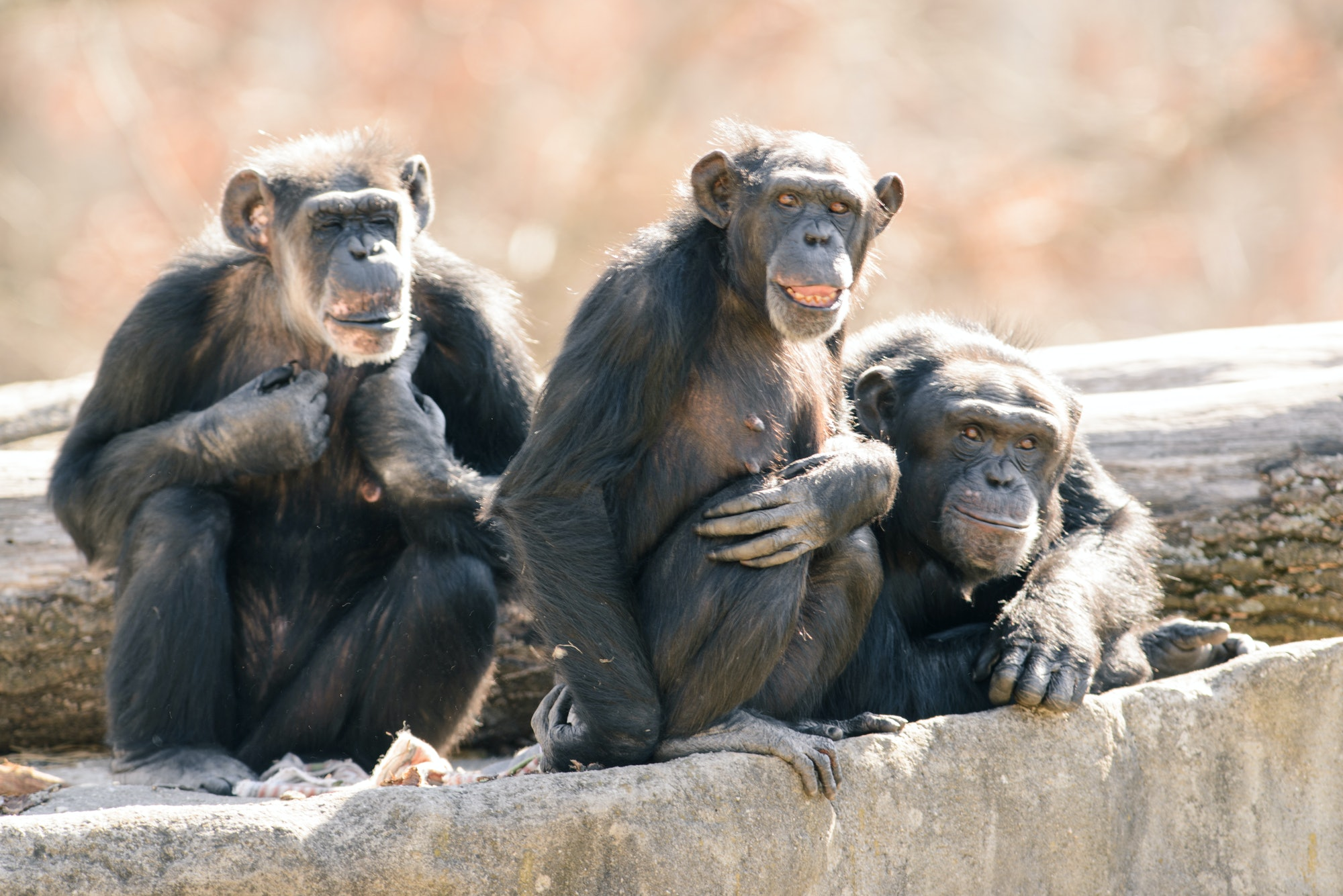 Chimp Group on Rocks