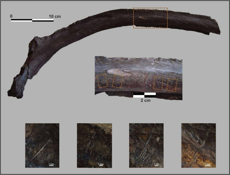 Cut marks on a giant ground sloth rib indicate that humans killed and butchered the animal.