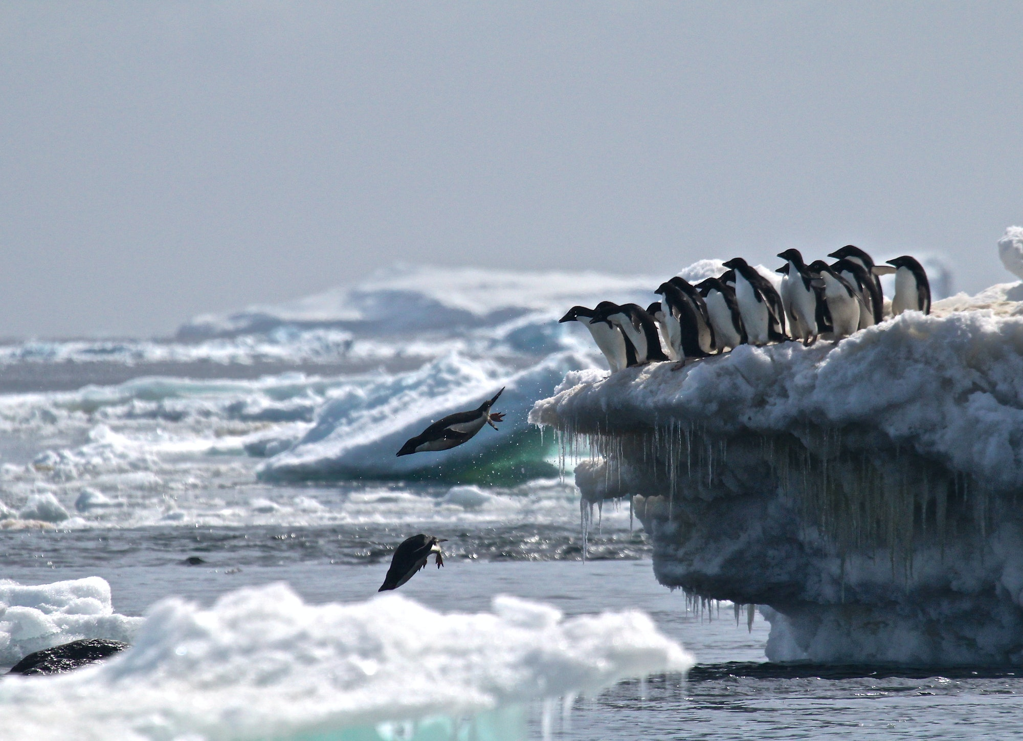 Penguins, Antartica
