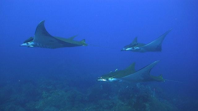 manta ray, threatened species, giant manta ray, texas