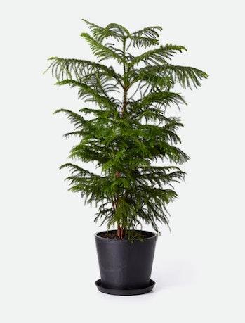 BloomscapeNorfolk Pine
