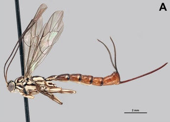 Clistopygaisayae, like other membrs of its genus, has a wild looking ovipositor, an adapted stinger through which it lays eggs.