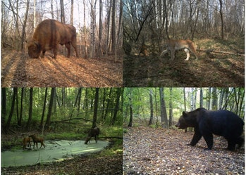 Chernobyl Exclusion Zone animals