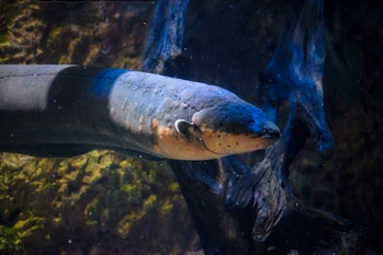 Electric eels can deliver shocks powerful enough to stun a human -- or light a Christmas tree.