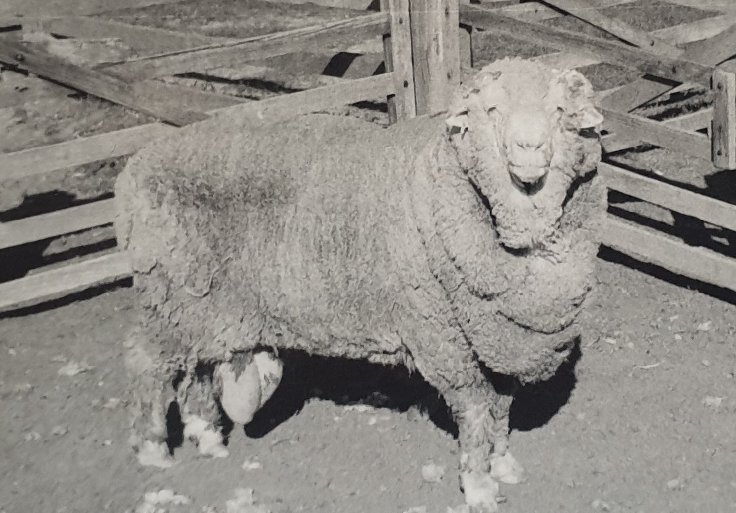 Sir Freddie, photographed in 1969, donated some of the semen that impregnated 34 ewes in 2018.