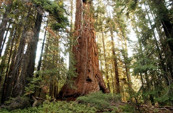 A giant sequoia
