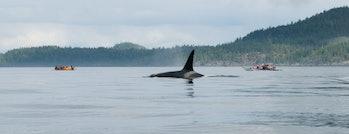 johnstone strait whales