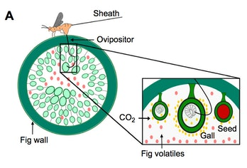fig wasp diagram