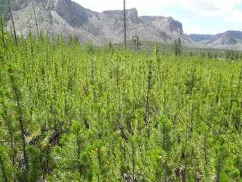 Post-1988 young lodgepole pine forests, photographed in 2014.