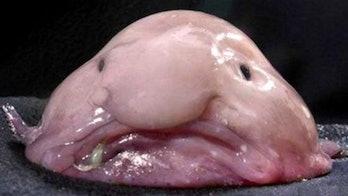 Blobfish endangered species conservation dollars