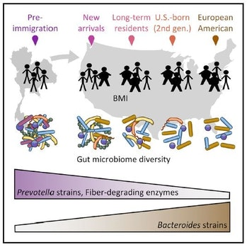 This image shows that migration from a non-Western nation to the United States is linked to a loss of gut microbe diversity that may predispose individuals to metabolic diseases, like obesity.