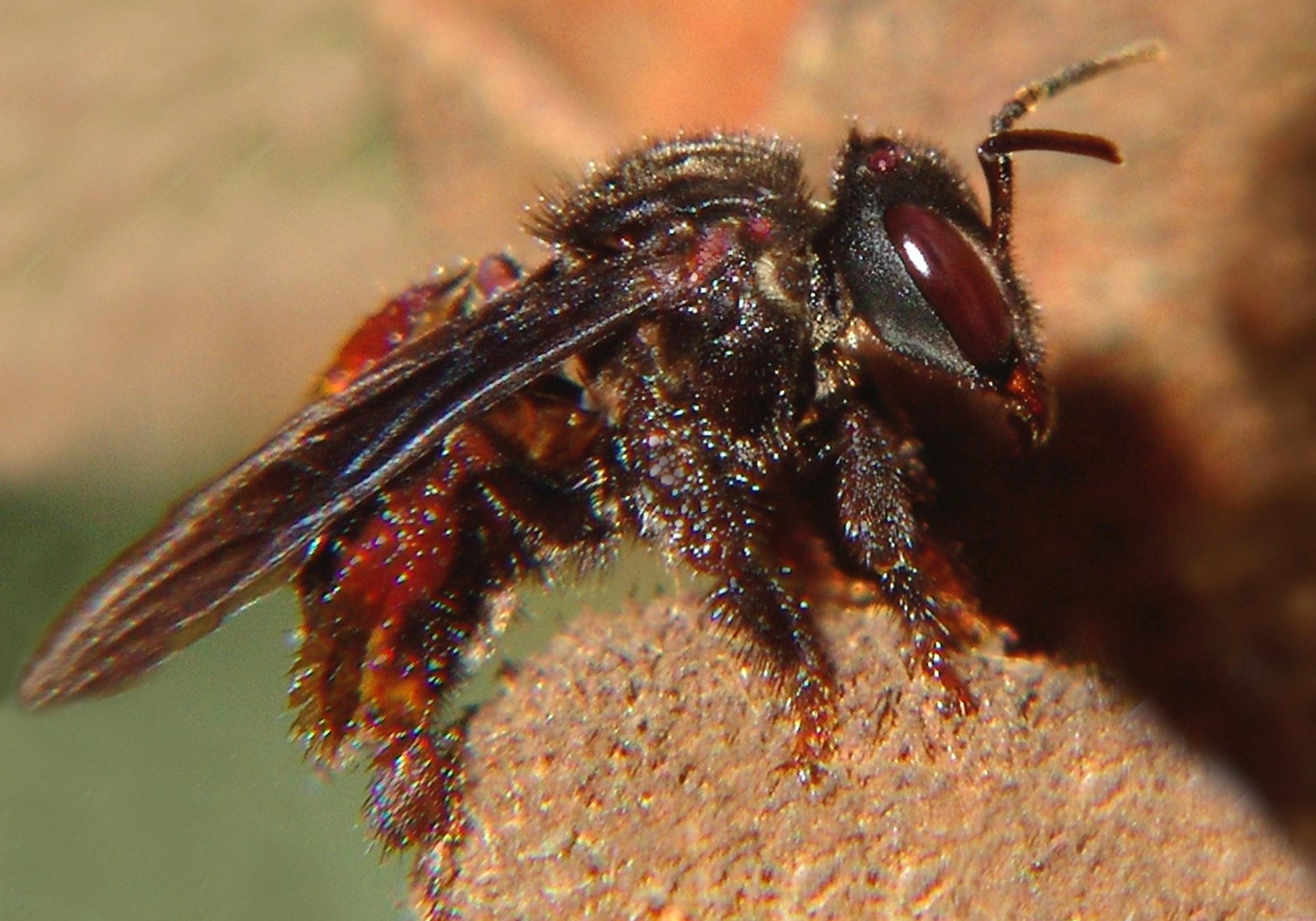 vulture bees