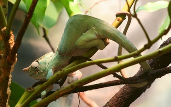 The two-banded chameleon (Furcifer balteatus)