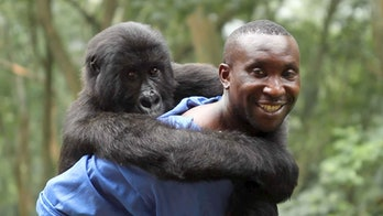 Rangers risk their lives to save gorillas in a national park.