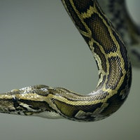 Why Did Snakes Lose Their Legs?