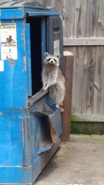 Raccoon caught while climbing out from the trash
