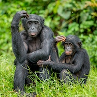 """""""Theoryof Mind"""": A 41-year-old question of ape brains may be answered"""