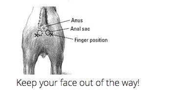 anal gland expression diagram instructions
