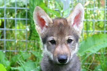 close-up photo of a wolf puppy