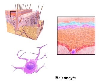 melanocyte tan